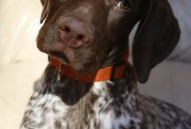GERMAN SHORTHAIRS / by Brenda Veeder