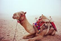 camels ships of the dessert / by Ellen Louwes