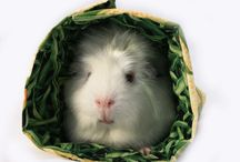 GUINEA PIGS!!  Love them / by Annette Beauvais