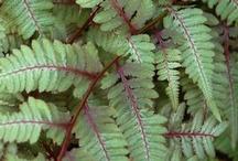 ferns / by Hilary Felsing Hall
