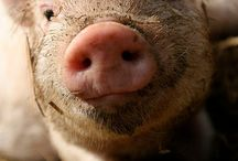 This little piggy. .. / by Tammy Maness