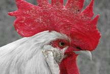 Domestic Birds - Chicken & Roosters / by Marilyn Swartz