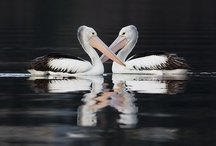 Pelicans / by Sharon