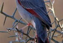 Cardinal birds / by Carol Deaville