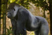 Apes and Monkeys / by Dorothy Braithwaite