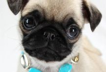 Pugs!!! and other cute doggies / by Kristy Chrustowski