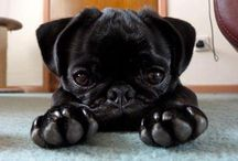 Pugs!♥ / by Aly Malone