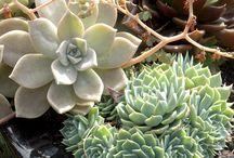 A Myriad Of Succulents / by Jodi