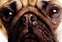 For the Love of Pug / by Jill Singleton