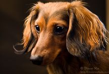 Doxie Darlin' / ♥  All Things Dachshund!  ♥ / by Jan Stevens