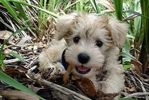 Schnoodle Crazy / by Tiffany Spano