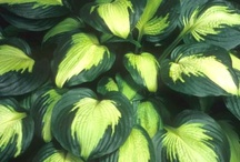 Hosta and Their Shady Friends / My latest project in our yard, 1/2 done. / by Kathy Burchfield Moss