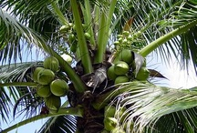 All Things Coconutty / Genesis 1:12 The land produced vegetation: plants bearing seed according to their kinds and trees bearing fruit with seed in it according to their kinds. And God saw that it was good. / by S P