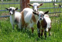 Goats / by Jan & Eddie Morse 🐶👅🐾🚘🌅🌊🎃