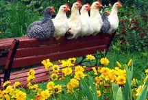 Chickens / by Liz Markus