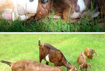 .::Goats::. / by Lee Stewart