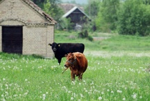 Cows  / by Lizzy Rupertus