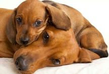 Dachshunds!! / Dogs...I have a doxie named Mandy! / by Eileen Davies