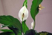 Hydrangea, Calla / by Juana Espinosa