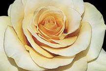 Roses  / by Brenda Nanni