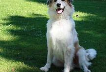 Great Pyrenees border collie mix / by MaryAnn Urbanik
