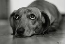 Doxies / by Michel Boudreaux