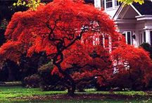 Japanese Maples / by antonio Aguilar