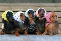 Dachshunds / by Jean Louise Giordano