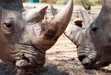 White Rhinos / by Tulsa Zoo