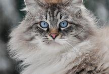 Ragdoll cats / by Lise Joly-jones