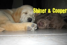 Shiner & Cooper Loves. / Shiner (yellow lab) & Cooper (chocolate lab) were born on January 23, 2012.  Shiner is a happy little puppy.  He gets into everything & has SO much energy.  Cooper is my sweet puppy.  He loves to be held when he sleeps & he's really mellow.  I love both my 'lil fools so much. <3  This board are things I have found that remind me of my sweet dogs. / by Melissa Hodges