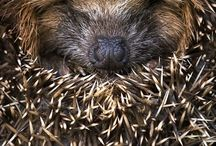 Hedgehogs / by Ann Rinkenberger