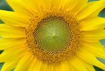 SUNFLOWER / My favorite flower / by Mikele - Bodie's Mama