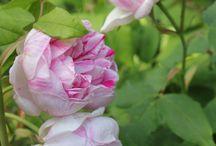 FLEURS : Roses / by Jennifer Martin