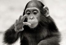 Our simian cousins / by Jerome Semper Curiosus