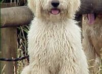 Goldendoodles / by Colleen Fletcher
