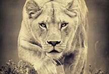 """LEO """"LIONESS"""" PRIDE / by Shanella Henry-Norwood"""