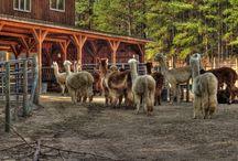 Alpacas & Llamas  / by Debbie Chandler