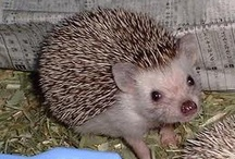 Hedgehog / by Satol Skg