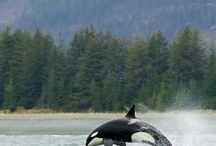 Orca / by Kate Wehby