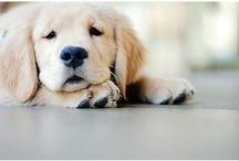 Labradors/Dogs / by Lisa Caramagno