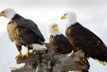 Highland Lakes, TX Bald Eagles / by The Highland Lakes of Burnet County - a beautiful Texas Destination