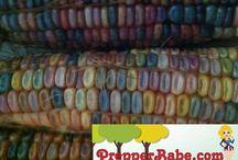 Glass Gem Corn (a Rare Cherokee corn!) / by Prepper Babe