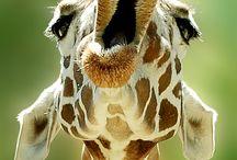 Giraffes / by Gayle McSpadyen