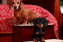 Love my Doxie / by Sharon Tate