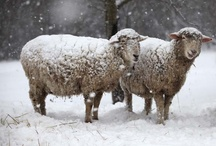 Wooly Lambs and Sheep / by Kathy Torman
