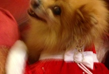 Miss JudyWu and other Pomeranians❤️ / by Christine Calvin