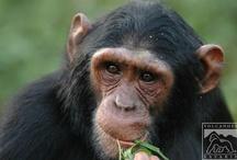 Gorilla, Wildlife and Chimp Safaris in Uganda / by Volcanoes Safaris