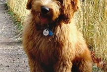 Labradoodles / by Tanya Madden-Alldredge