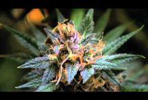 Cannabis / by Marty Bigperm